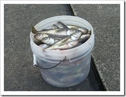 ハタハタ大漁