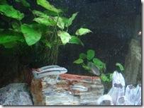 タンガニイカシクリッド水槽